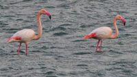 «Πλημμύρισε» από ροζ φλαμίνγκο η Κέρκυρα (εικόνες)