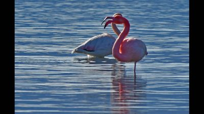 , «Πλημμύρισε» από ροζ φλαμίνγκο η Κέρκυρα (εικόνες)