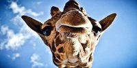 Απίστευτη σκηνή σε πάρκο σαφάρι: Καμηλοπάρδαλη έσπασε με το κεφάλι παράθυρο αυτοκινήτου (video)