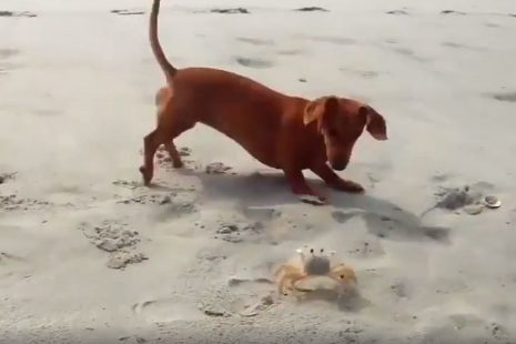 Η πιο αξιολάτρευτη «μονομαχία»: Σκύλος εναντίον… κάβουρα – Το τέλος θα σας εκπλήξει (video)
