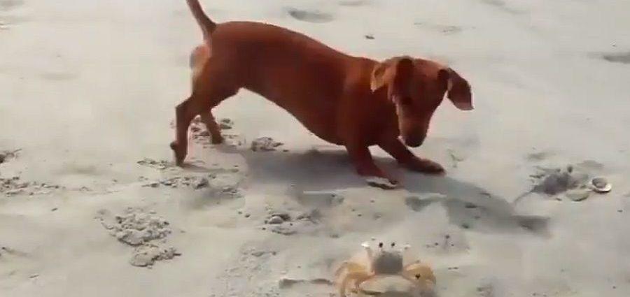 , Η πιο αξιολάτρευτη «μονομαχία»: Σκύλος εναντίον… κάβουρα – Το τέλος θα σας εκπλήξει (video)
