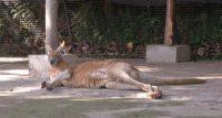 Φρίκη: Καγκουρό πέθανε σε ζωολογικό κήπο της Κίνας, αφού το λιθοβόλησαν οι επισκέπτες για να το κάνουν να πηδήξει (Video)