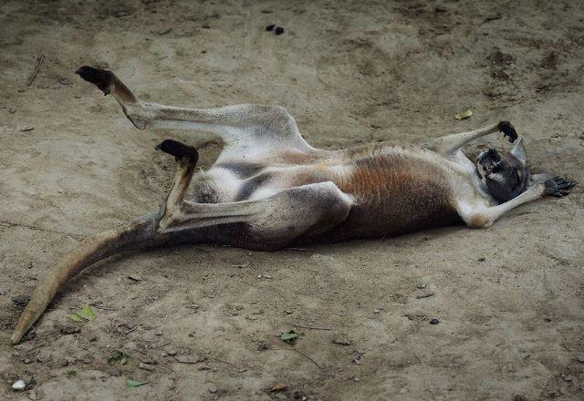 , Φρίκη: Καγκουρό πέθανε σε ζωολογικό κήπο της Κίνας, αφού το λιθοβόλησαν οι επισκέπτες για να το κάνουν να πηδήξει (Video)