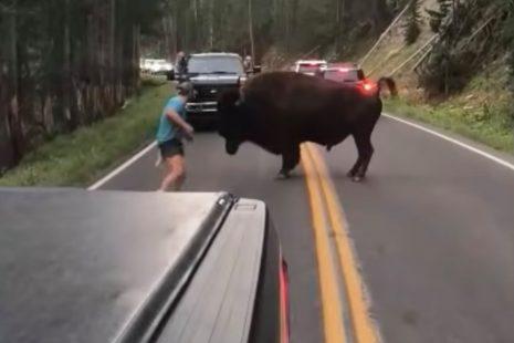 Άνδρας στο Εθνικό Πάρκο Yellowstone παρενοχλεί βίσονα ενώ διασχίζει το δρόμο