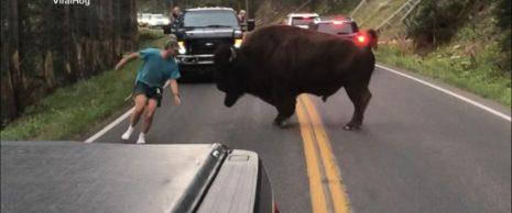 Συνελήφθη ο άνδρας που φαίνεται να παρενόχλησε τον βίσονα στο Εθνικό Πάρκο του Yellowstone