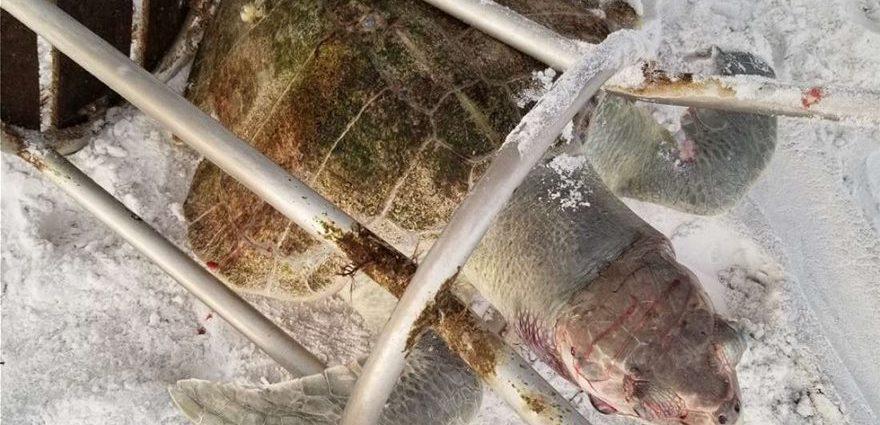 Φρίκη: Μία από τις πιο σπάνιες χελώνες του πλανήτη σκοτώθηκε από σκαμπό!