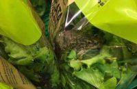 Η αλήθεια για το βατραχάκι που βρέθηκε σε σαλάτα γνωστής αλυσίδας σούπερ μάρκετ