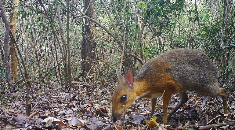 , Εντόπισαν σπάνιο ζώο που νόμιζαν ότι είχε εξαφανιστεί – Μοιάζει με ελάφι και ποντίκι